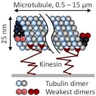 直径25纳米、微米长度的微管,以及微管蛋白二聚体