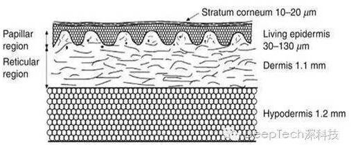 人体皮肤结构示意图