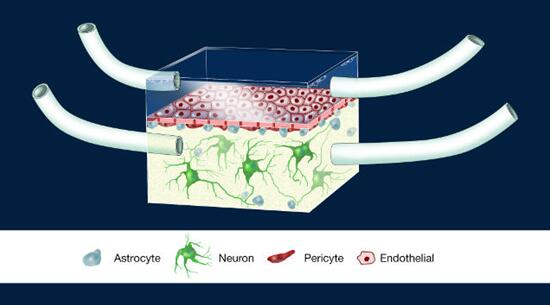 神经血管单元(Illustration of the NeuroVascular Unit, NVU)芯片图例
