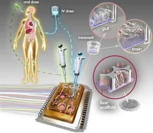 人体芯片的艺术表现接近于体外生物学,生物工程设备培养了许多能够代表每个器官最小功能单元的3D组织培养