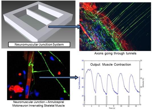 人体芯片公司Hesperos首获功能性干细胞衍生神经肌肉接头模型的许可证