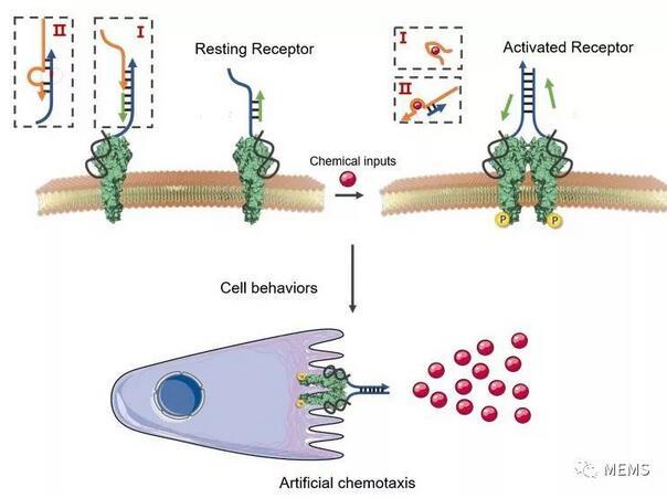湖南大学利用DNA纳米技术实现细胞行为的精确调控