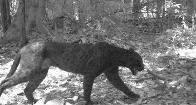 图为利用红外相机拍摄的黑豹