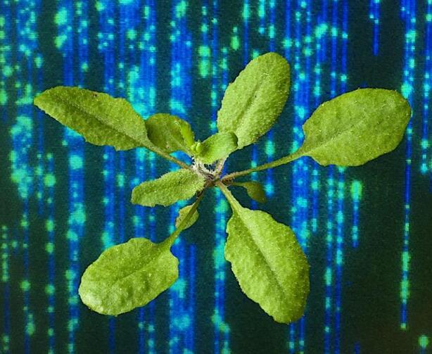 纳米孔测序联合光学测绘揭示转基因植物细节