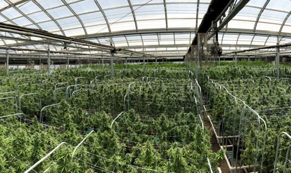 惊讶!激光雷达在大麻种植领域的高需求