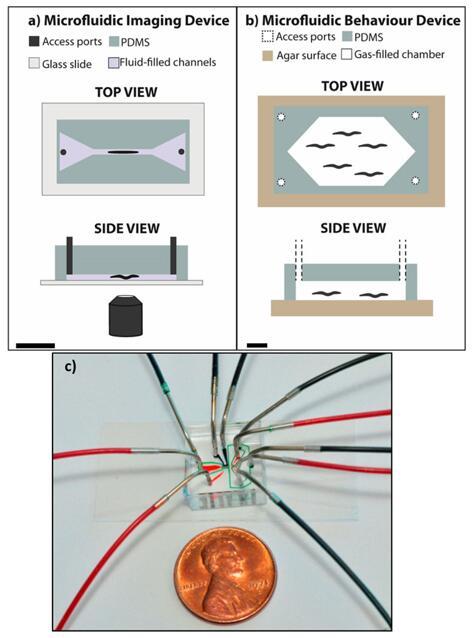 用于秀丽隐杆线虫实验的典型微流控器件