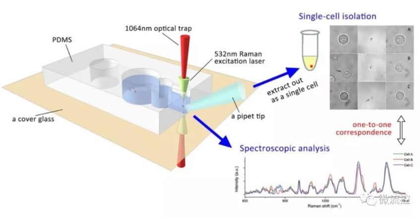 特定单细胞无标记拉曼光谱识别与准确光镊提取过程