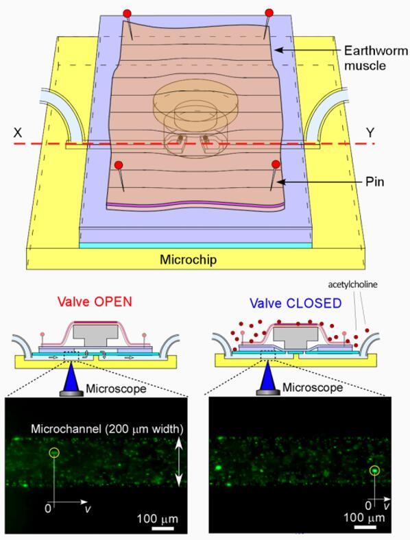 奇思妙想,首个由蚯蚓肌肉驱动的生物MEMS微芯片阀门