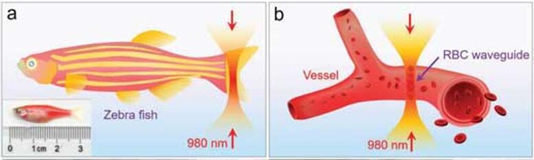 红细胞波导在斑马鱼体内的光学组装示意图