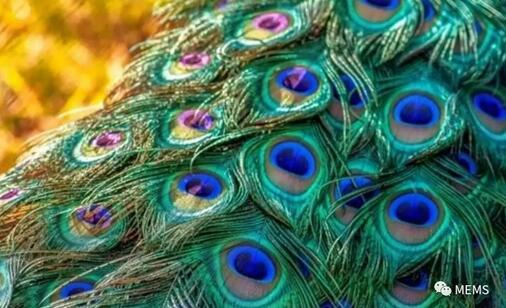 """孔雀羽毛显示出的斑斓色彩其实是一种""""结构色"""""""