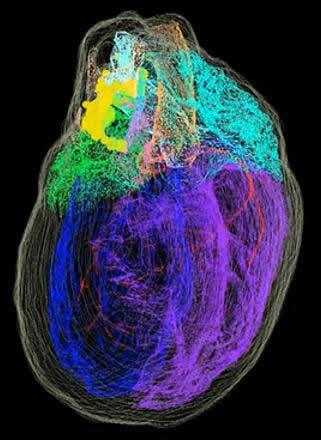 3D重建的雄性小白鼠心脏
