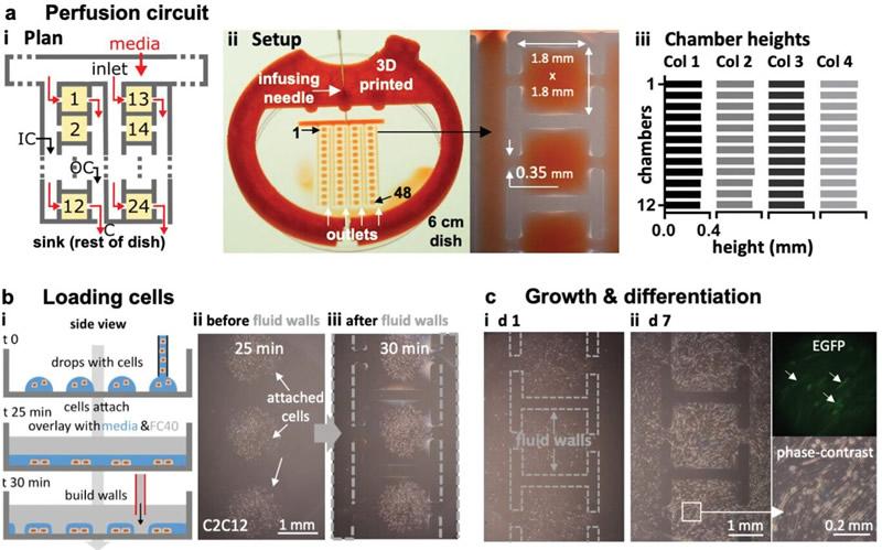 连续培养48组分化成肌细胞的灌注回路